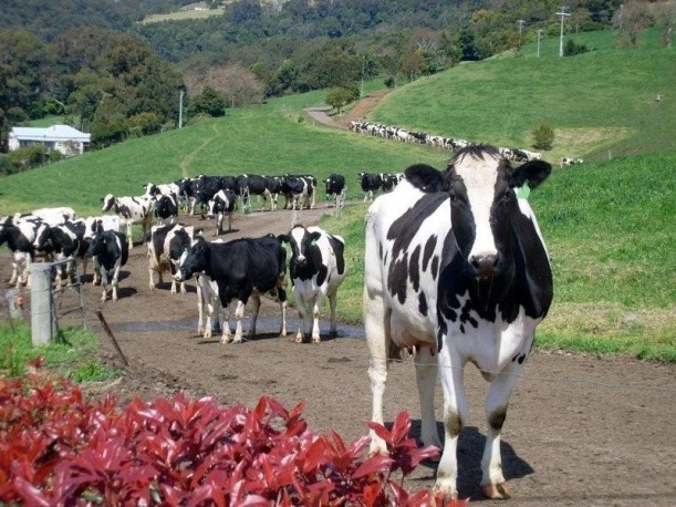 cows-in-line